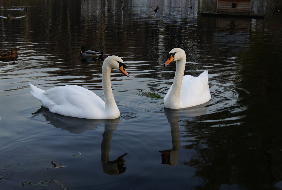 оформлении свадьбы картинки пара лебедей на воде окрашенная пробка, краску