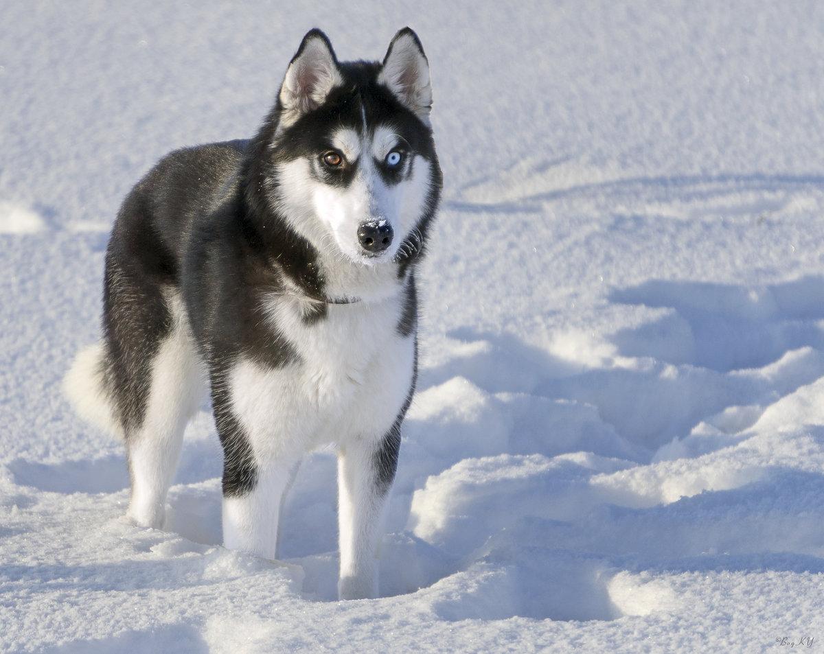 Картинки про собака хаски