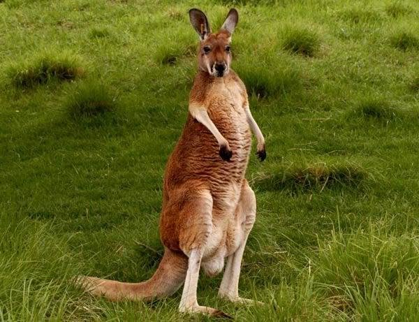 Большой рыжий кенгуру» — карточка пользователя mariordets в Яндекс ... 703eaa49d2701