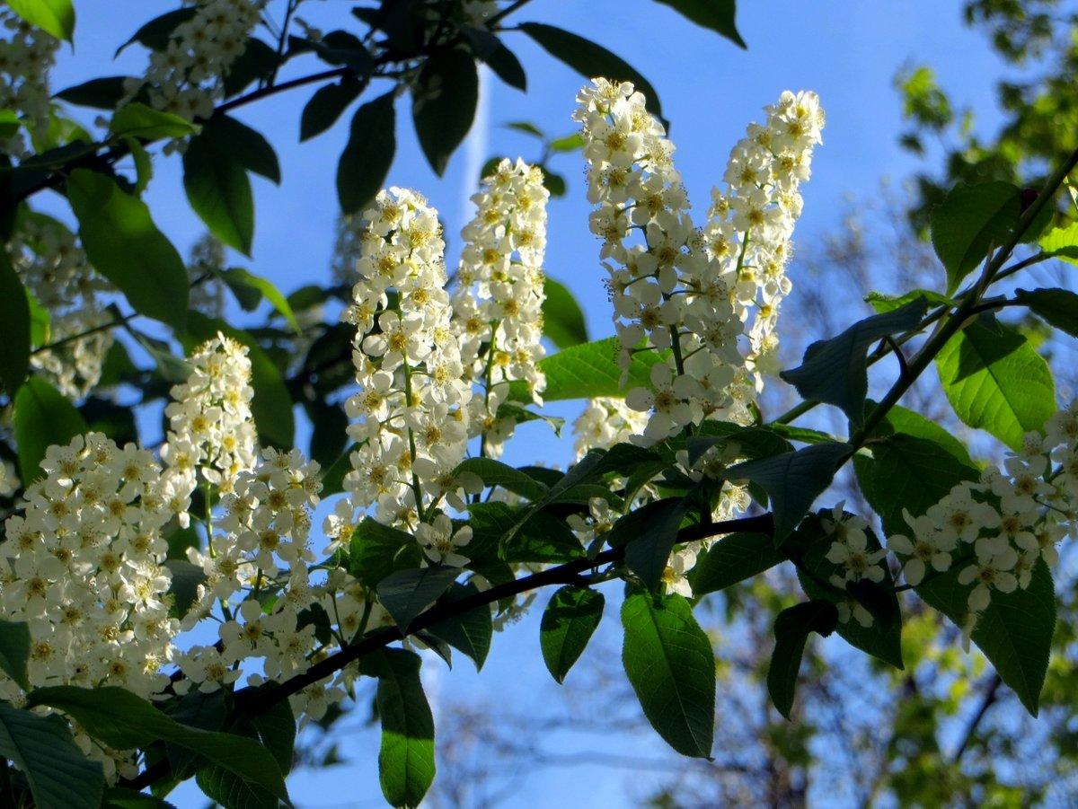 глобусе черемуха цветущая дерево фото профессионалов торговые