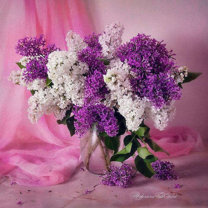 Цветы сирень букет фото