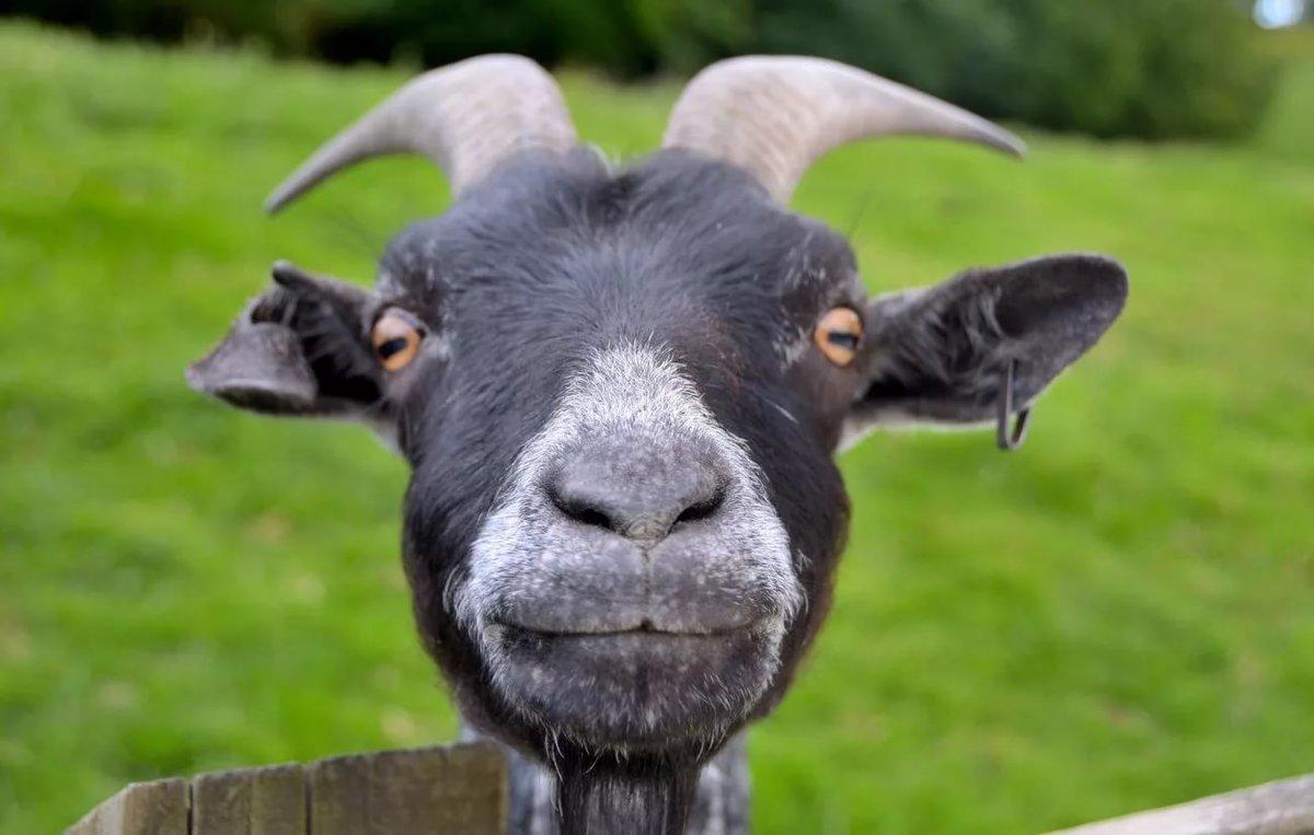 Прикольные картинка козы