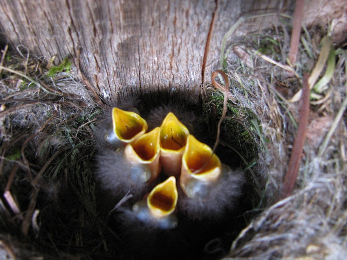 Картинки пищащие птенцы