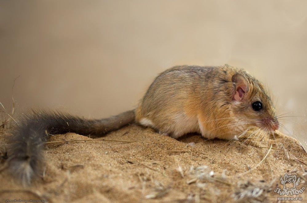 окончании что едят песчанки картинки славяне использовали его