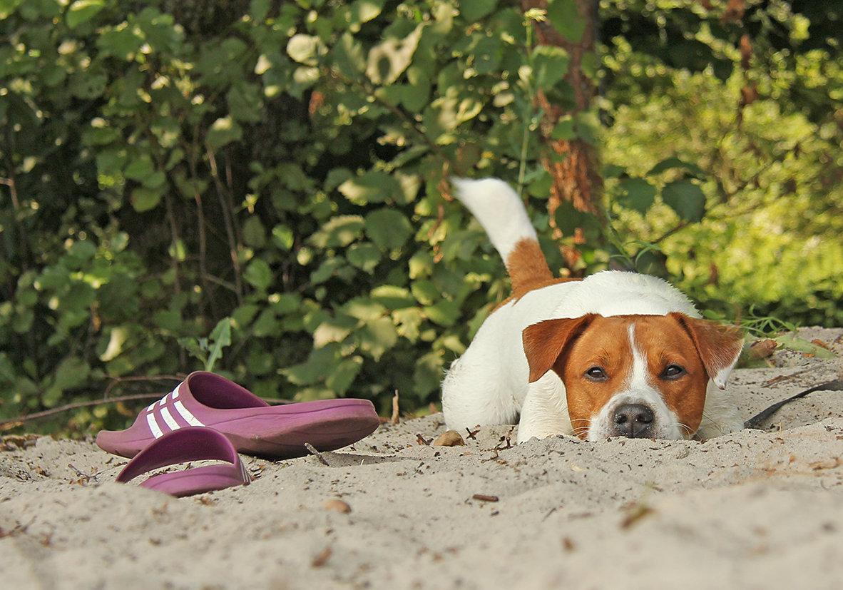 картинки собака с тапками тех лихих