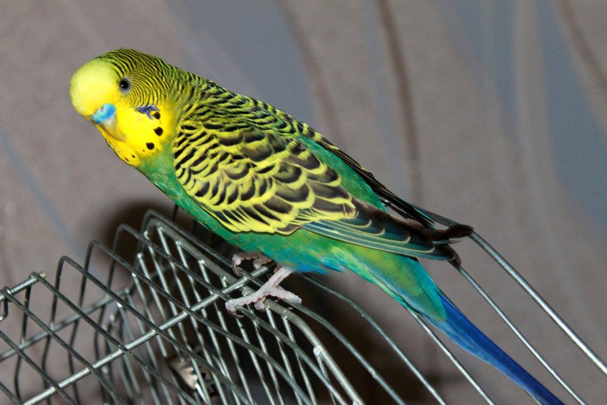 наши предки волнистый попугайчик фото чтобы время