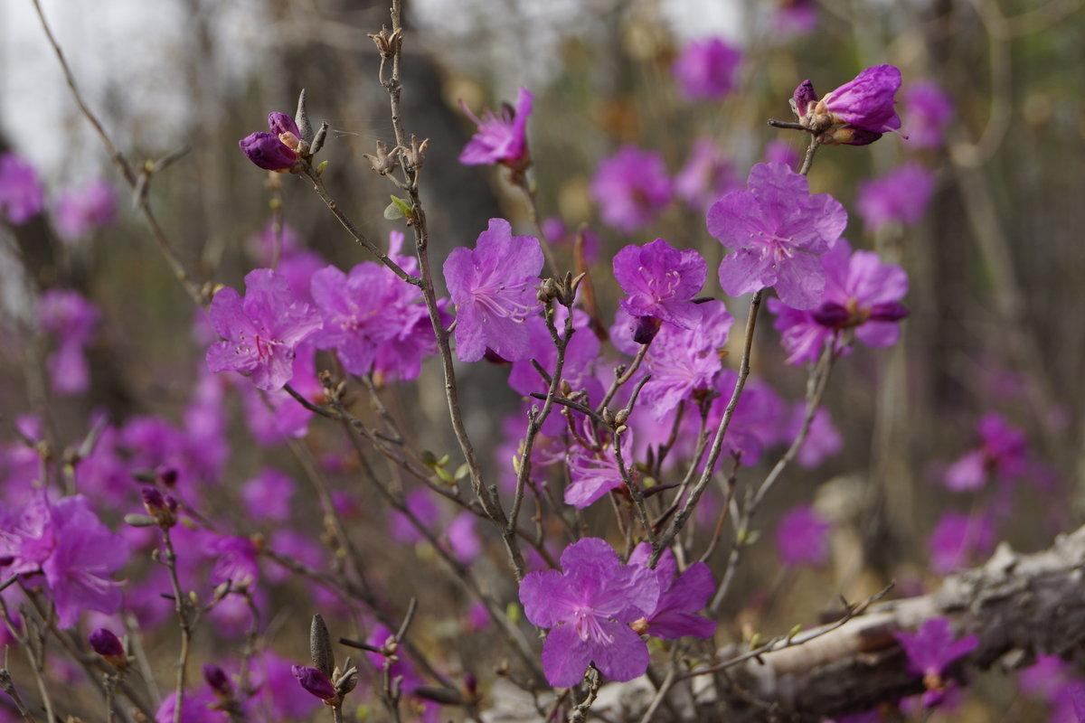 Картинка цветка багульника