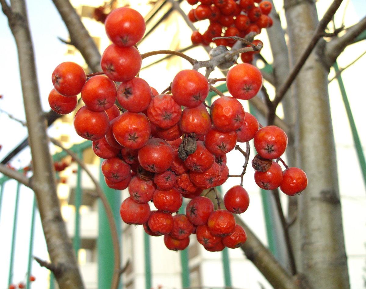 рекомендую брать картинка дерева рябины и ее плодов цвет структура