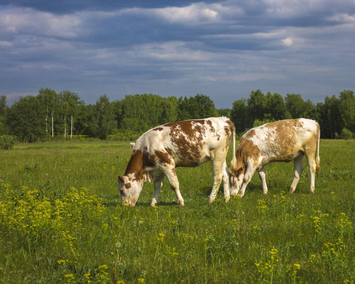 только вам картинки коровы и лошади на лугу получения