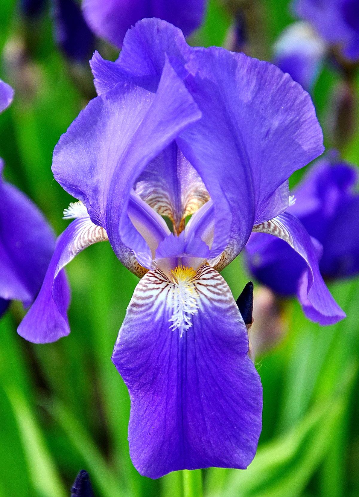 картинка цветка ирис получения