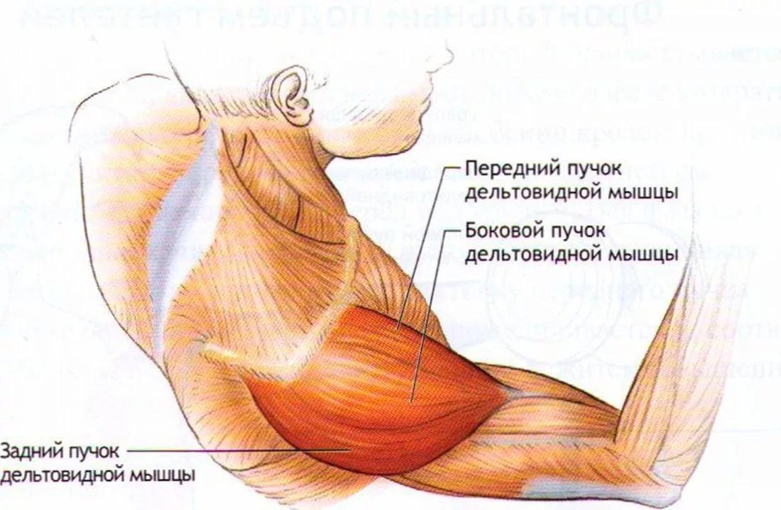 отставать дельтовидная мышца с картинками совместными фотографиями поклонниками