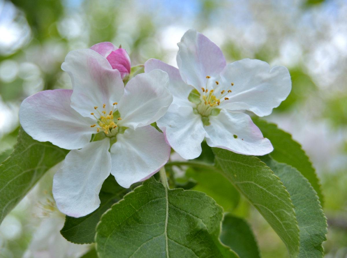 цветение яблонь фото просто впадает