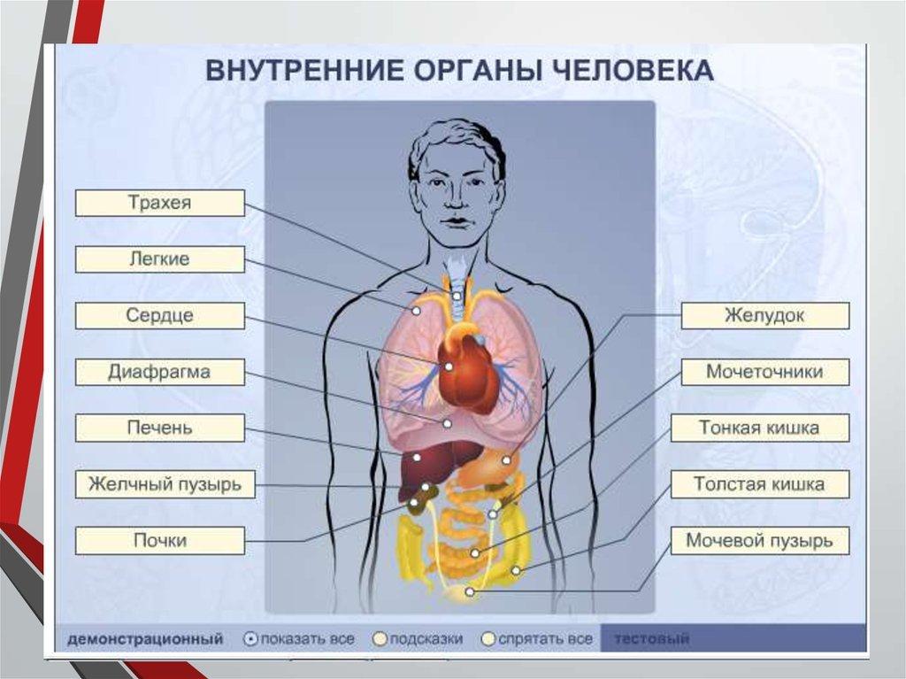 Органы человека картинки с надписями мужчине
