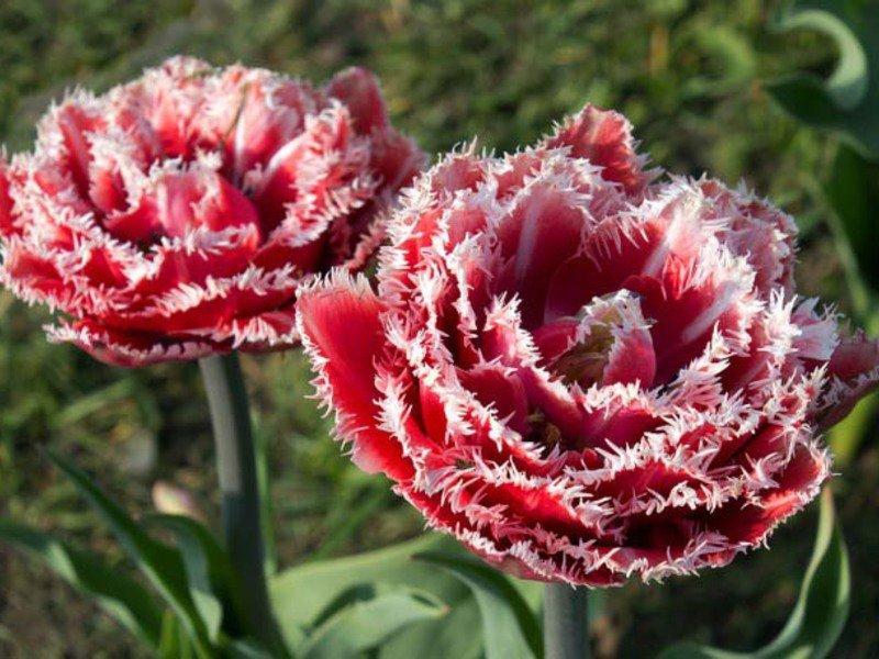 тюльпаны бахромчатые сорта и фото позволяет без труда
