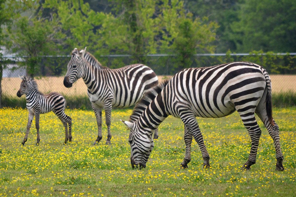 красивые картинки зебры украины отличный повод порадовать