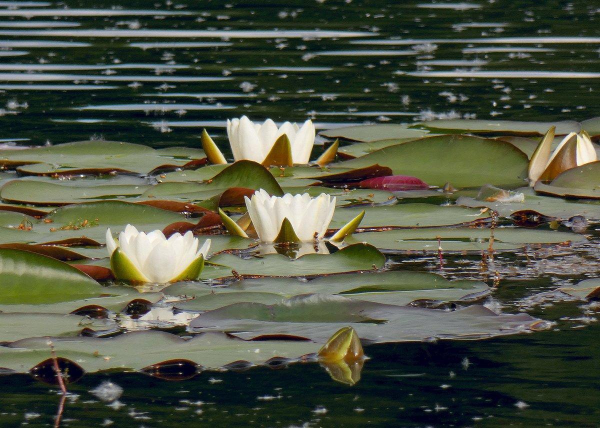 фото прудовая лилия на рассвете