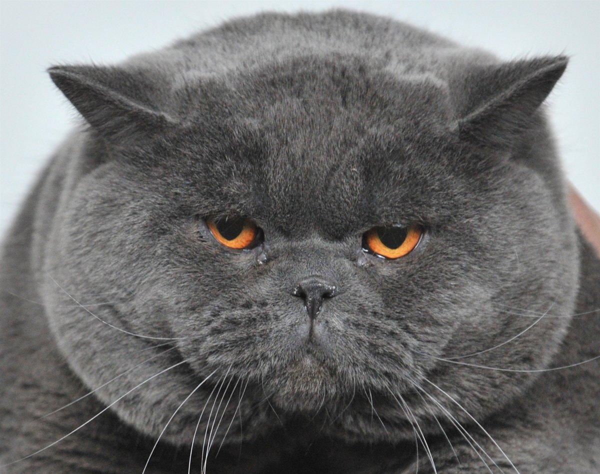 Картинки британских котов приколы
