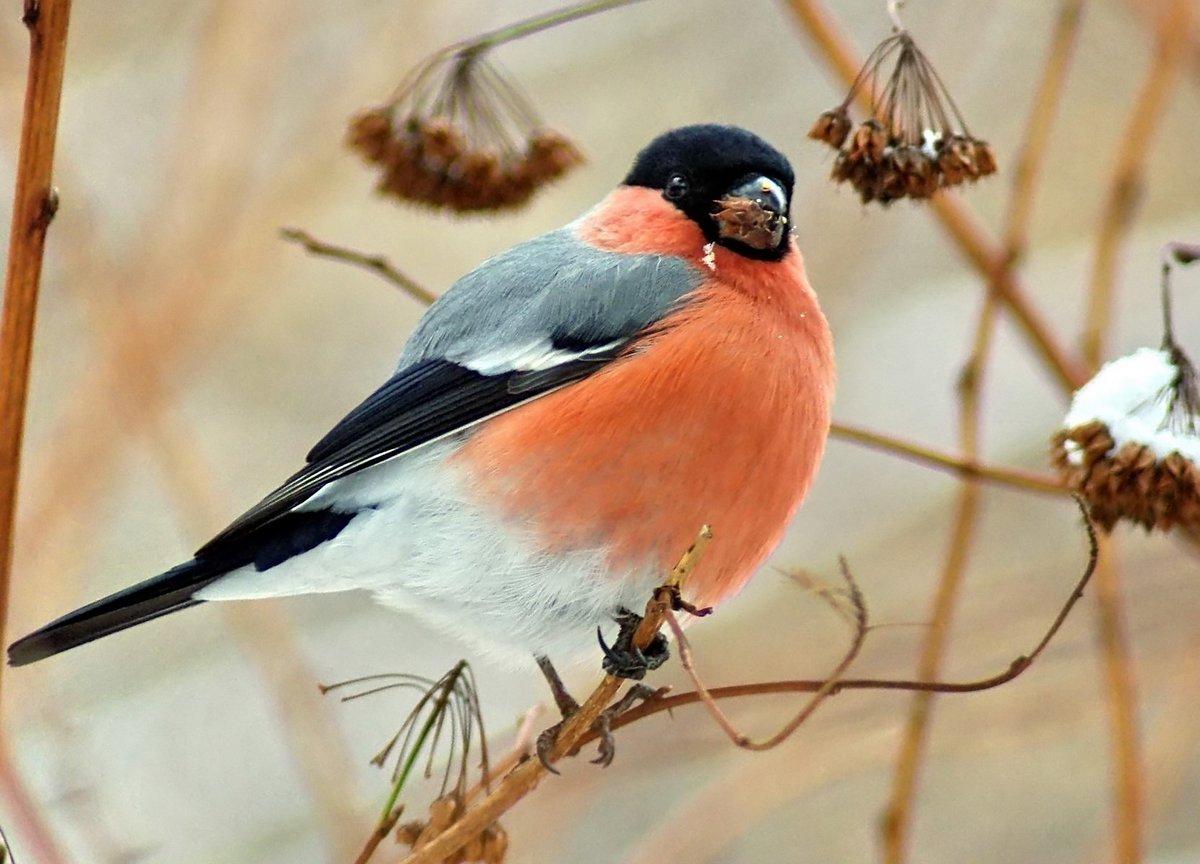 снегири птицы картинки с названиями для