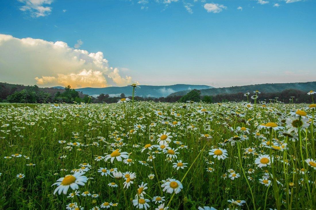 Картинки поле ромашек, цветов машине