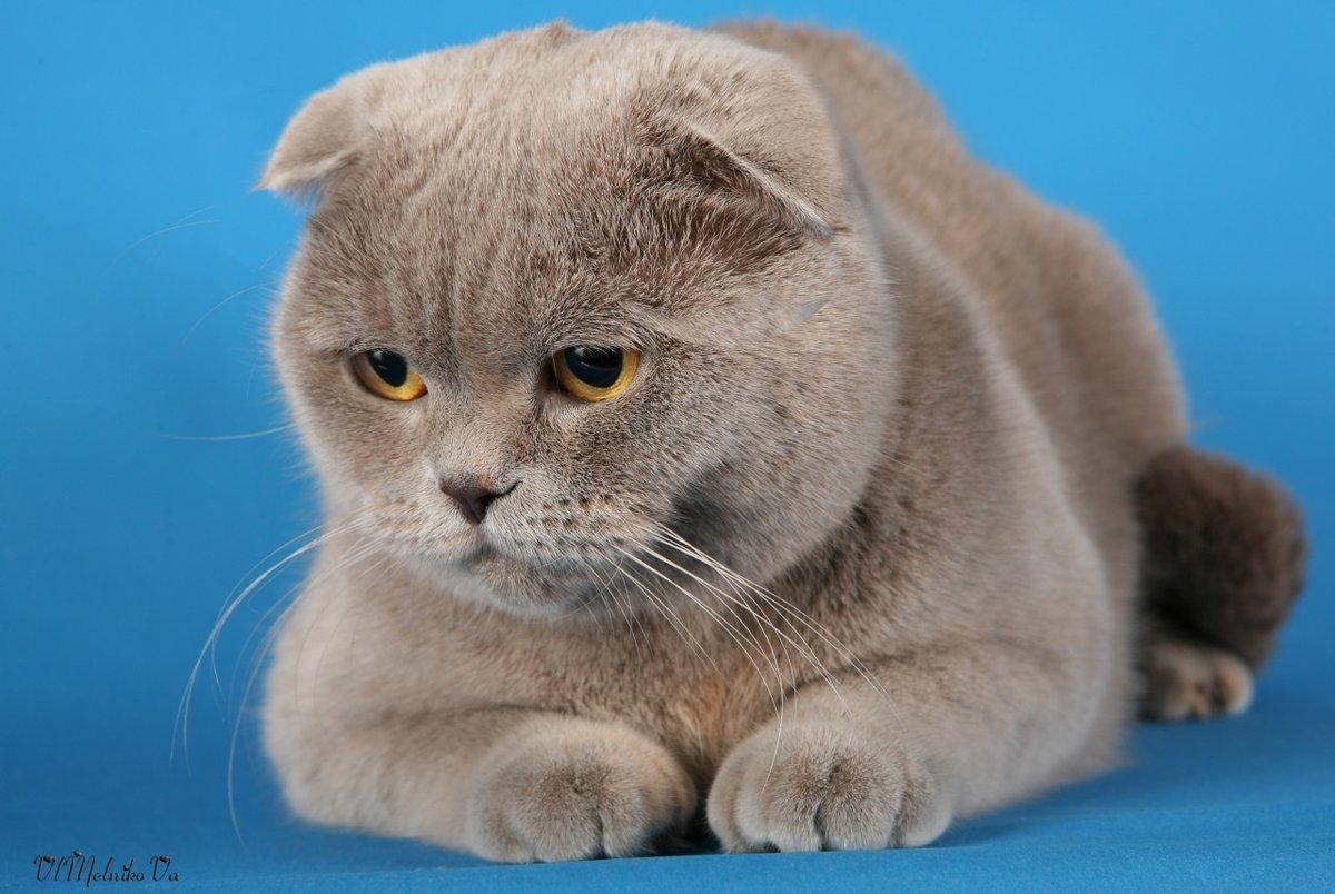 картинки британских вислоухих котов и кошек притопили