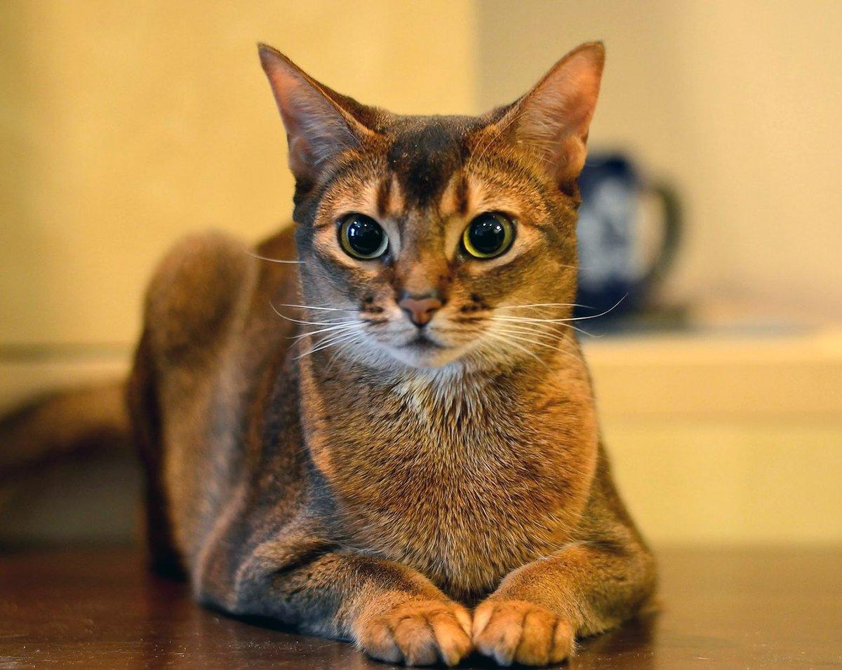 Абиссинская кошка фото абисс