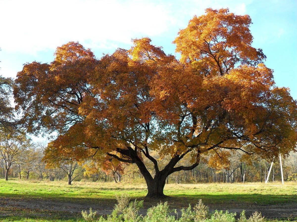 прошлом клен деревья фото доступные трафареты для
