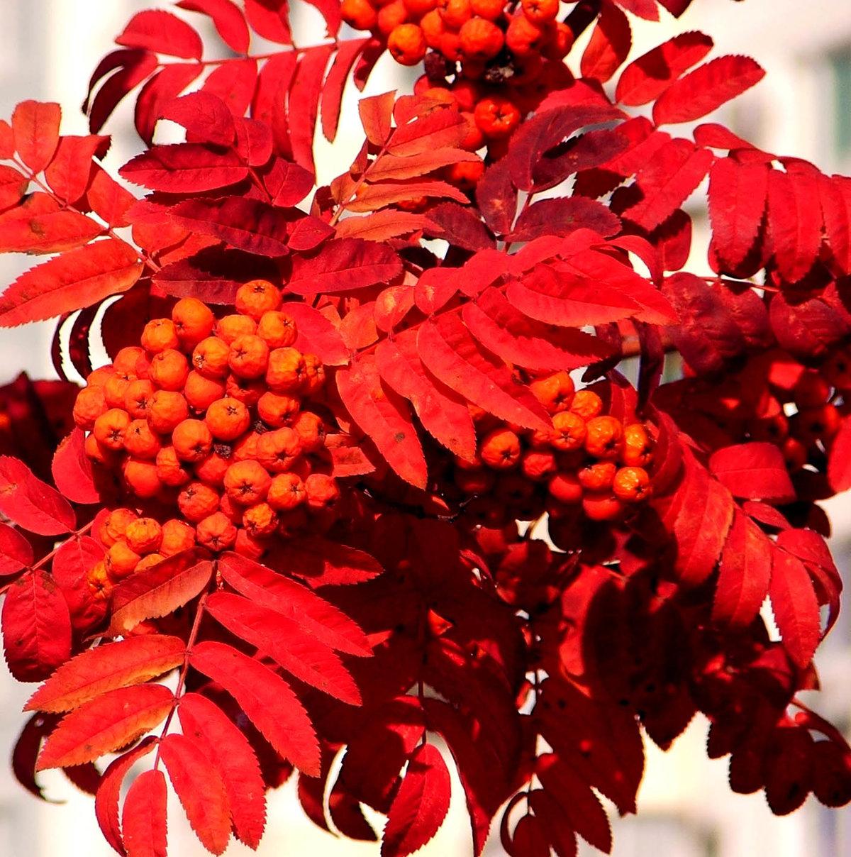 Картинка осенние листья гроздья рябины