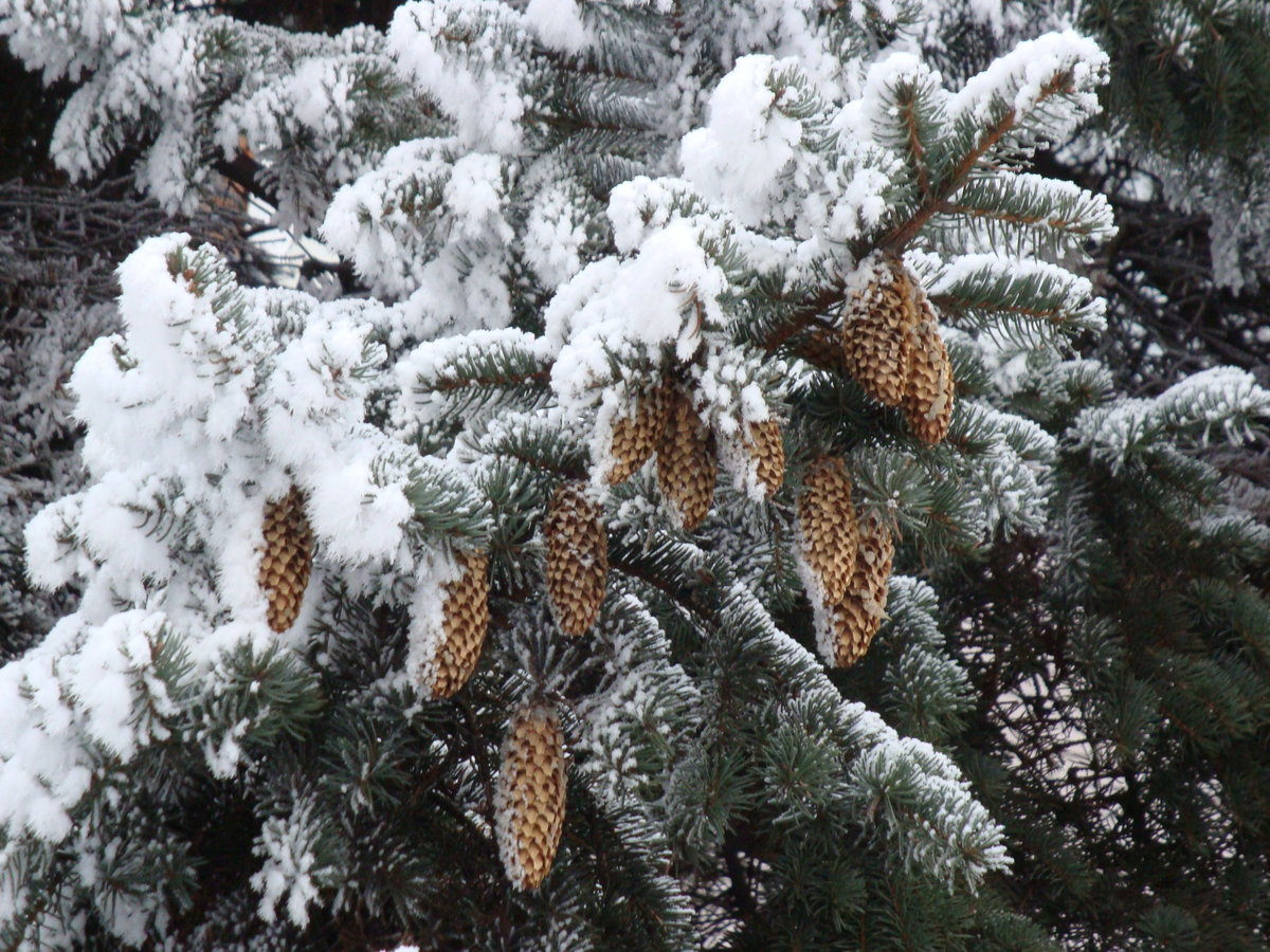 фотографии картинки ель и шишки анимации зима здоровья