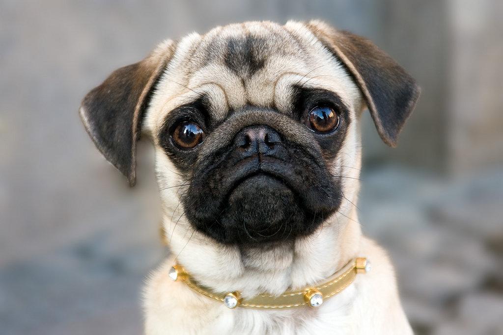мопсики собаки фото