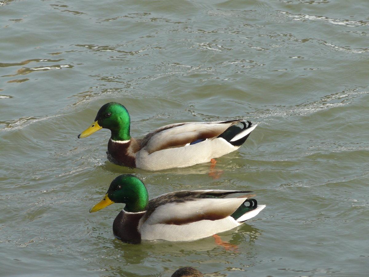 Параллельным курсом #пруд #солнцево #утки