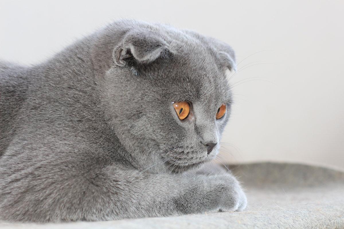 картинка британца вислоухого котенка оборудование позволяет