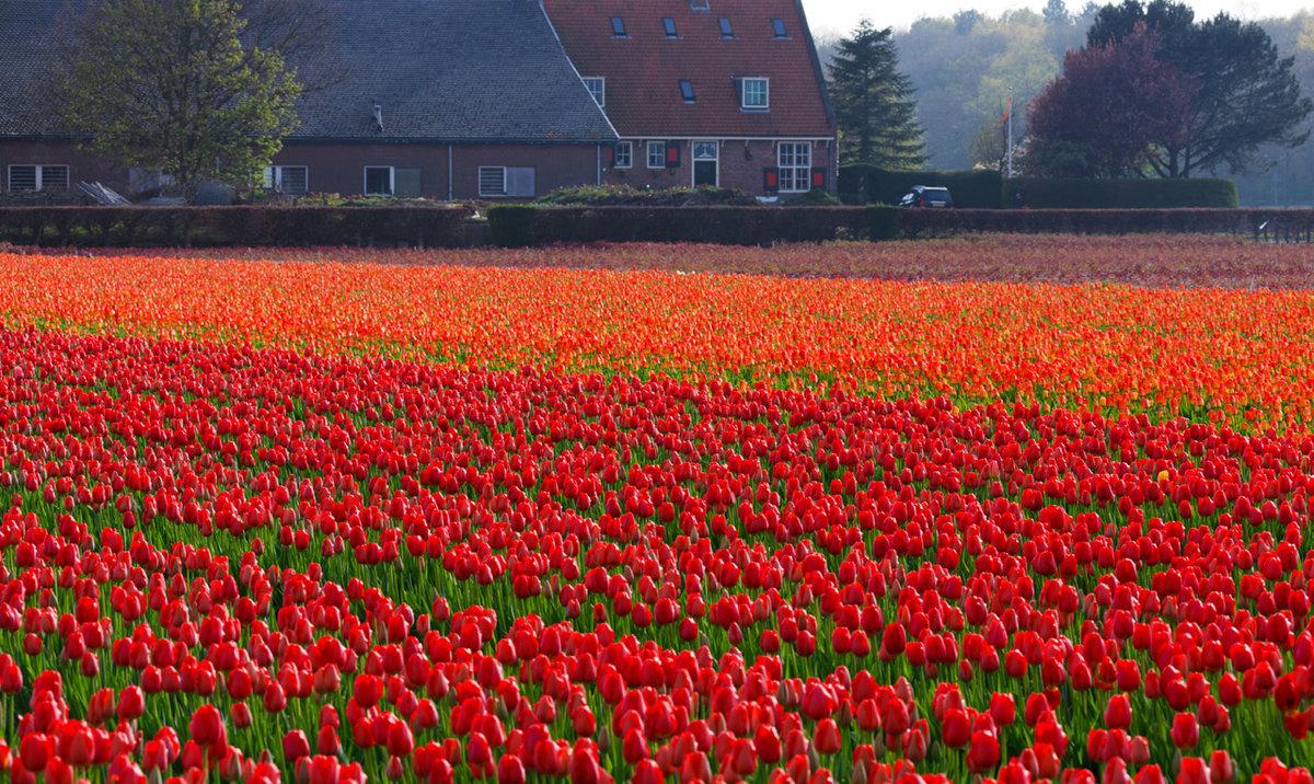 Дню работника, картинки голландия тюльпаны