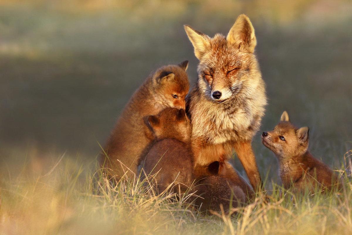 Картинки про лис и лисят