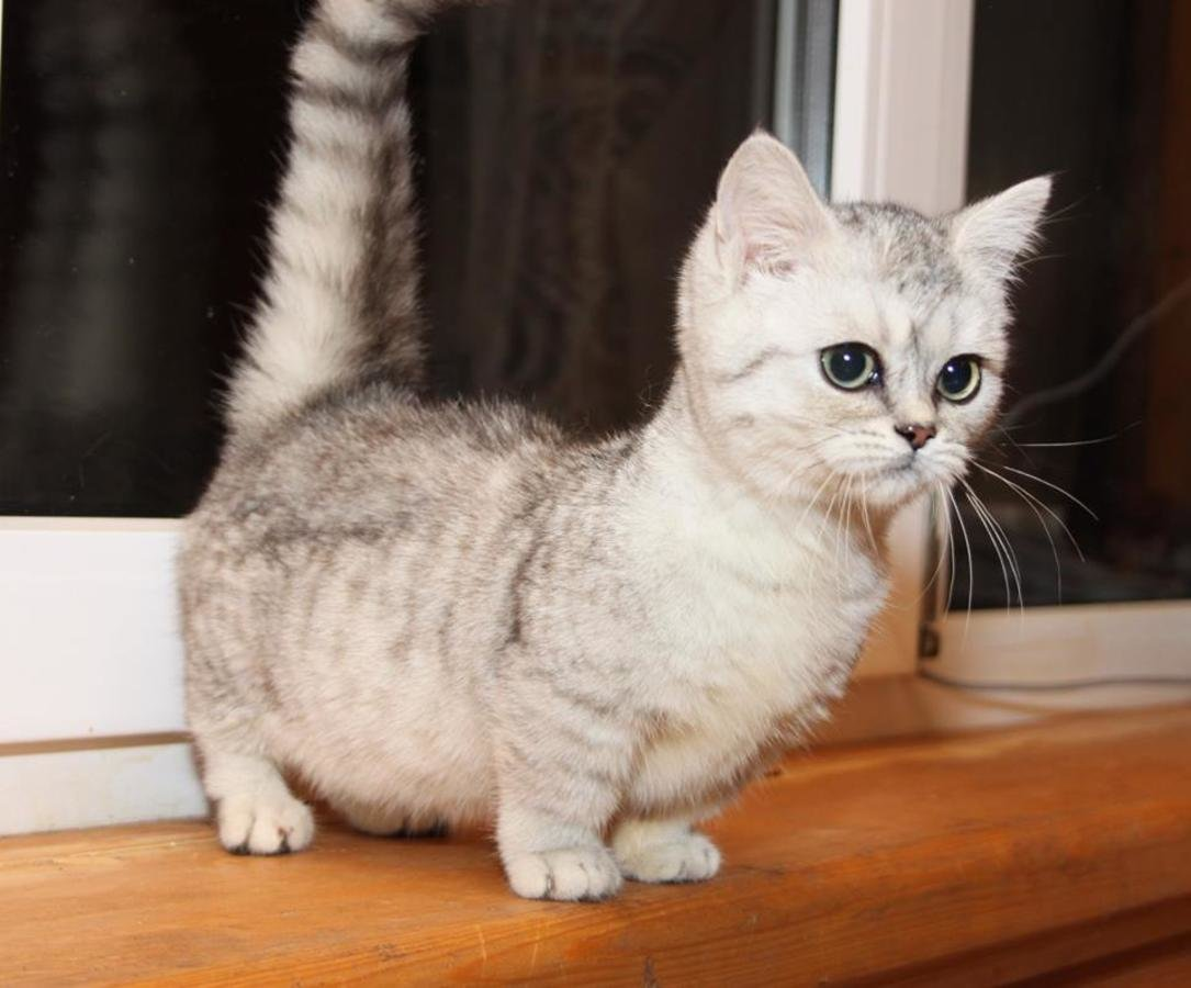 muchkin cats Munchkin cats 24k likes welcome to the munchkin cat fan page we do not sell cats or have information about where you can purchase them.