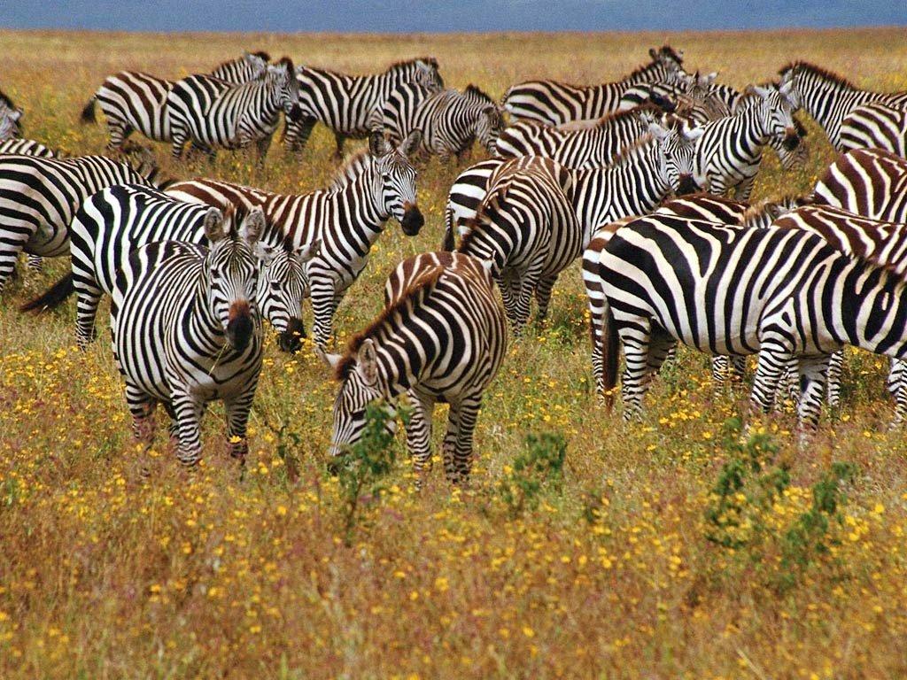 Удивительные зебры, фото. Зебры — стадные животные