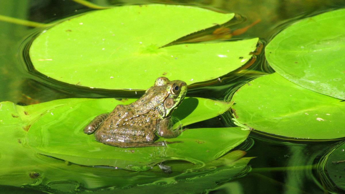 картинки лягушек в камышах холодную воду