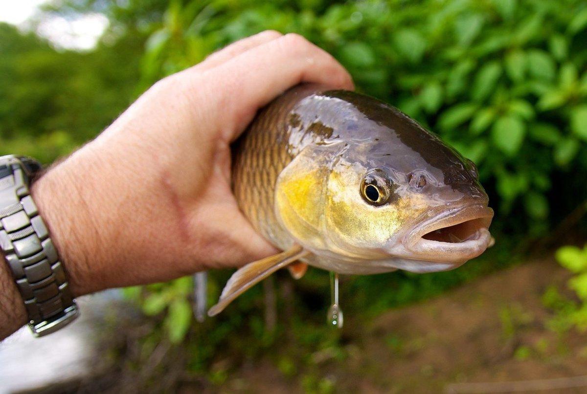 Какие рыбы клюет на короеда