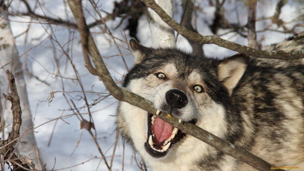 Смешные волки картинки
