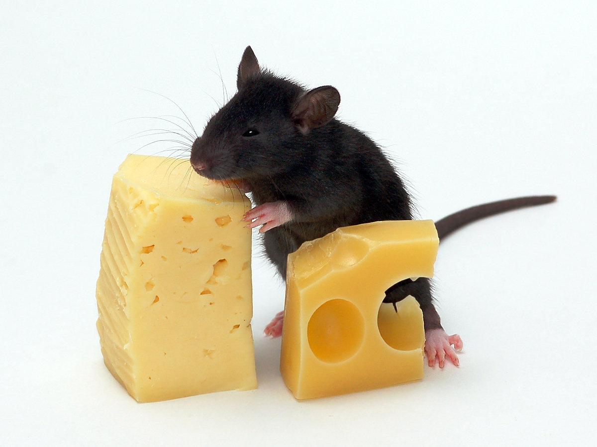 Для, смешные картинки мышей с сыром
