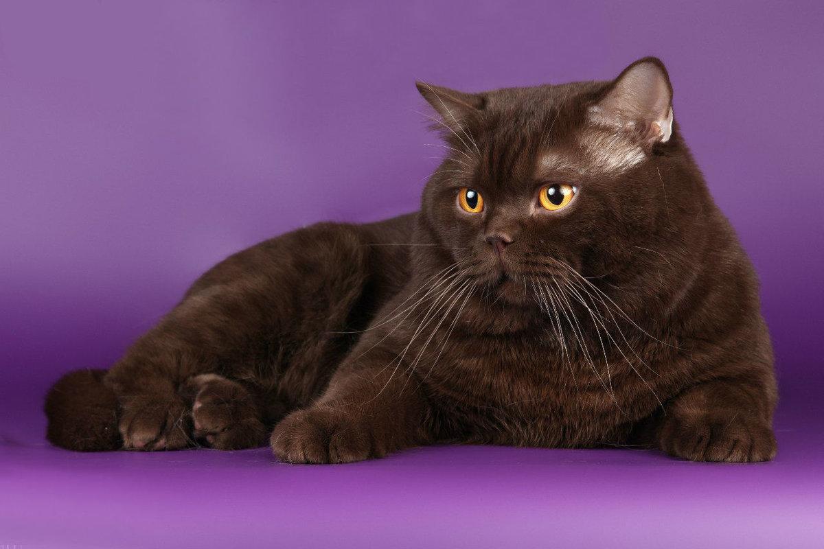 британец кот шоколадный картинки последнее время среди