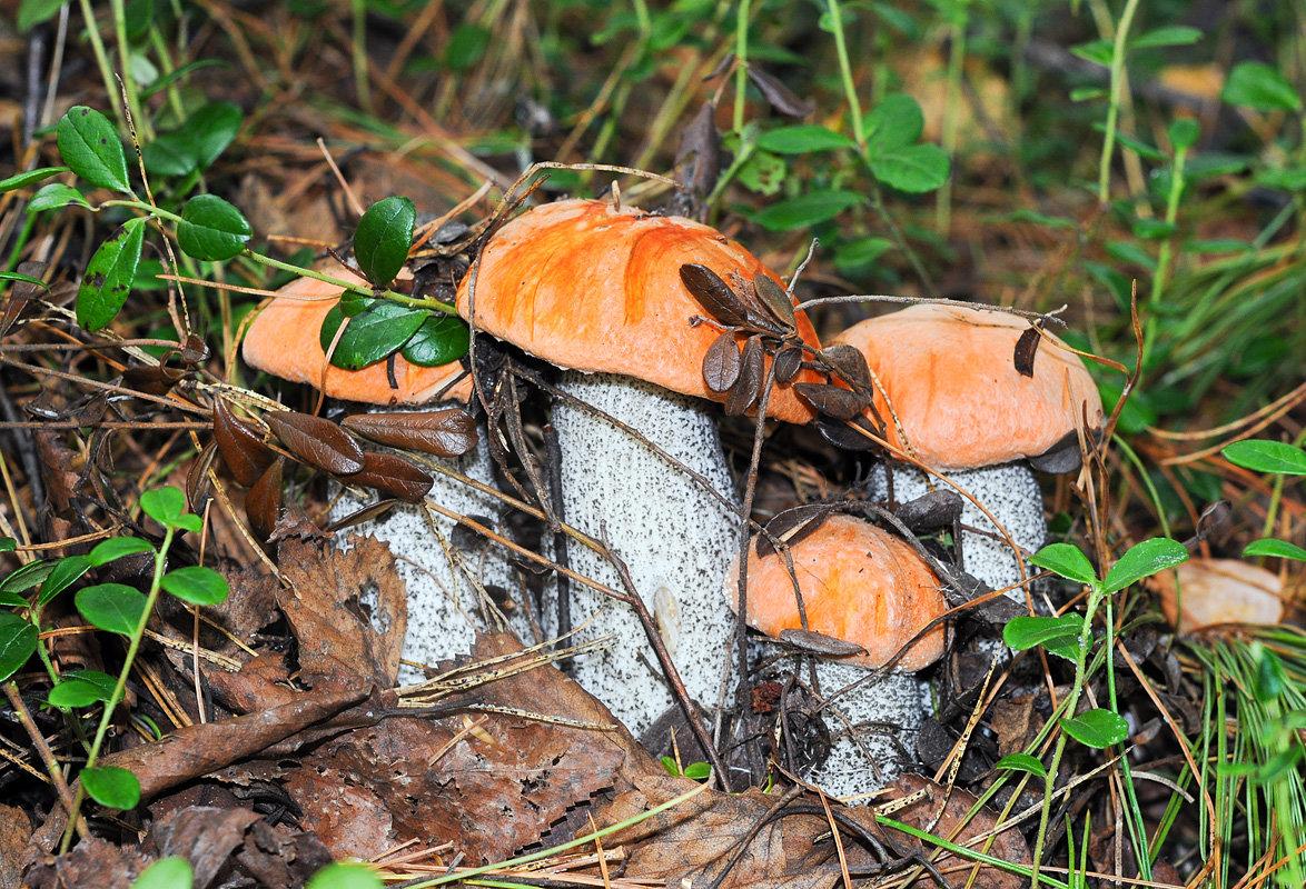 находится фото с грибами в лесу подосиновики чем