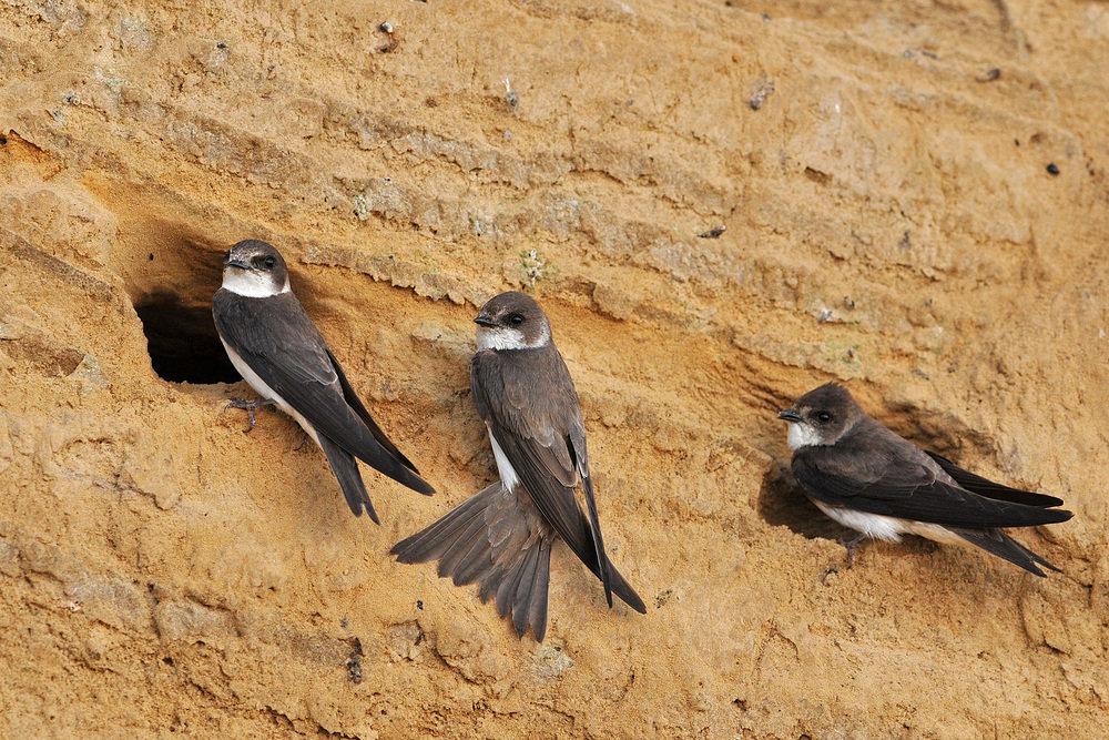Птица ласточка береговушка фото