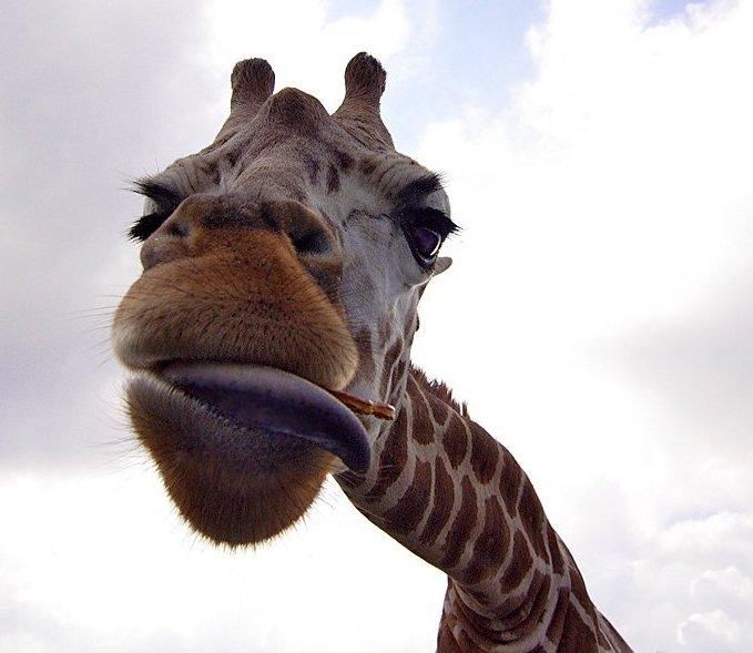 Осторожно: жирафы!