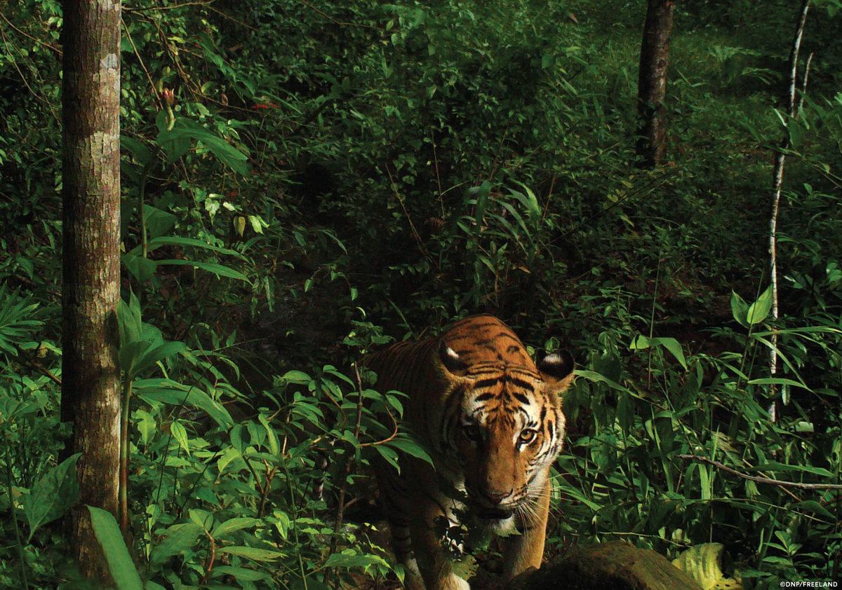 есть картинки тигр в джунгли суть была видна