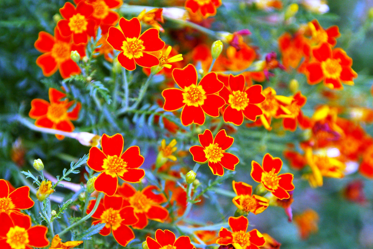 показать фото цветка аксамитка вас