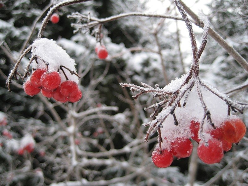 Картинки калины под снегом