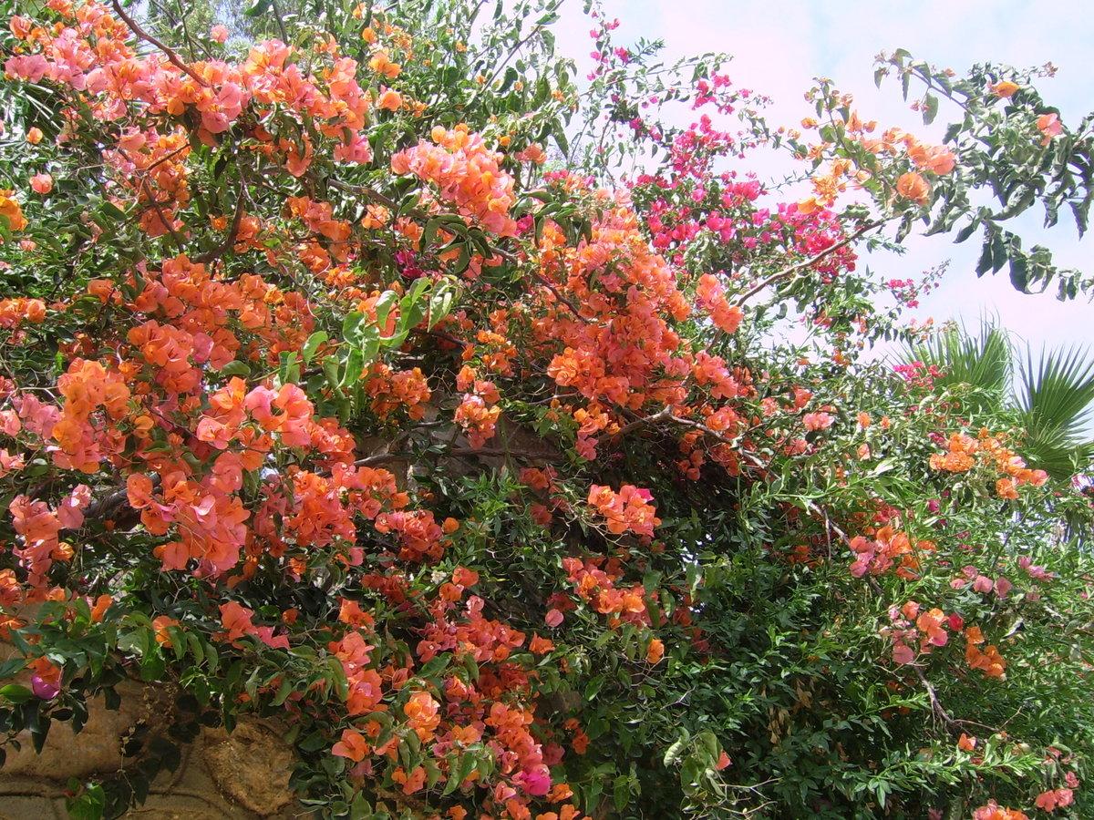 лучшему цветущие лианы фото с названиями химба может иметь
