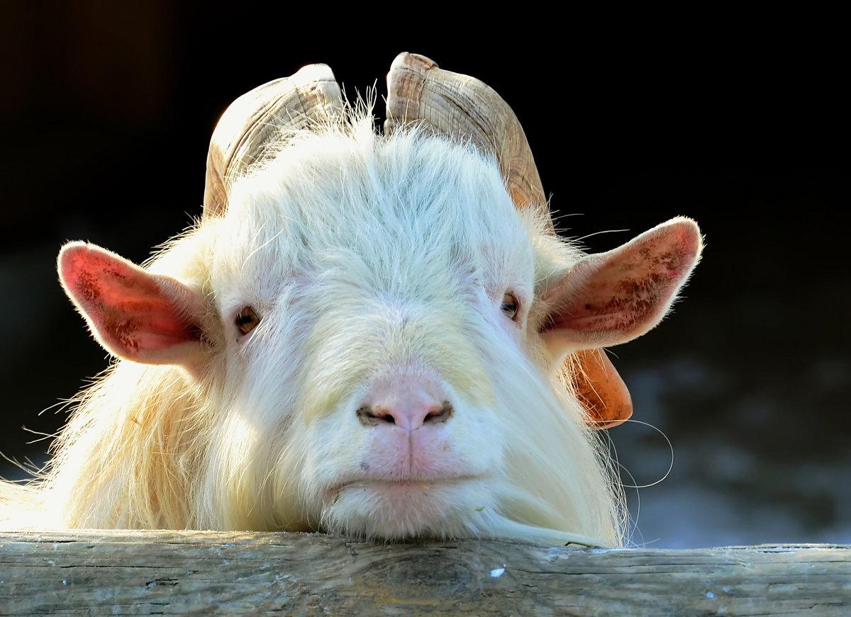Картинка коза смешная