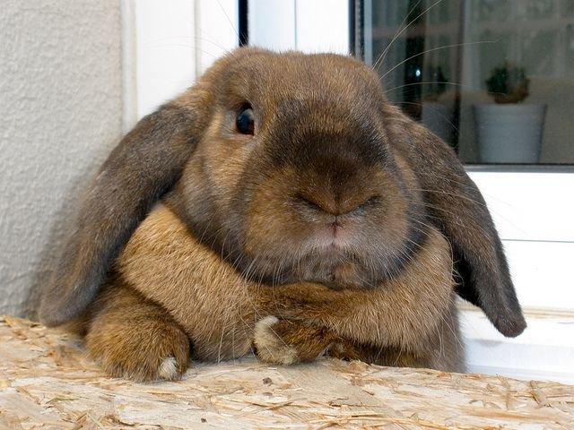 чем правильно кормить кролика вислоухого барана видео