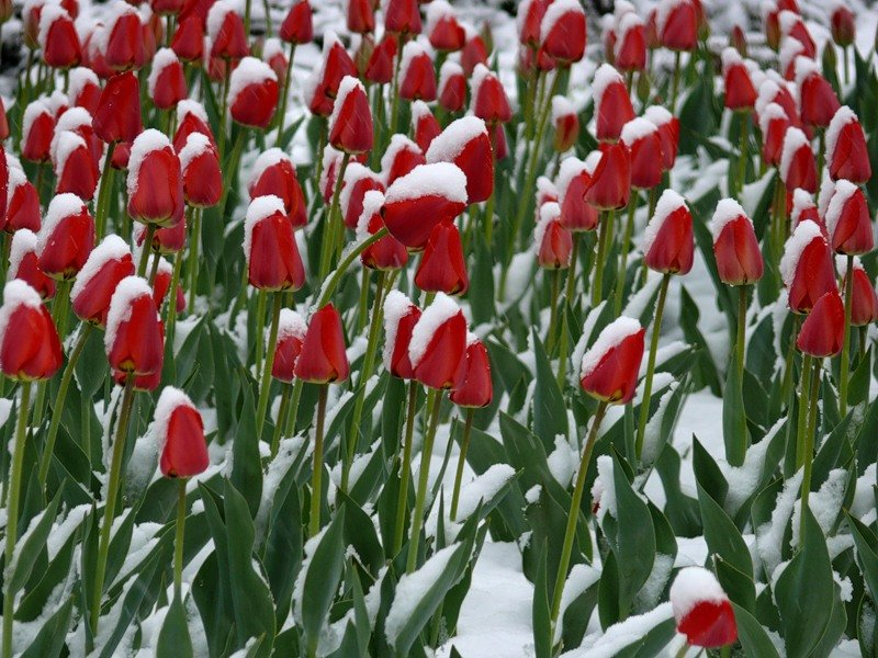 тюльпаны зимой картинки фотообои граффити наличии